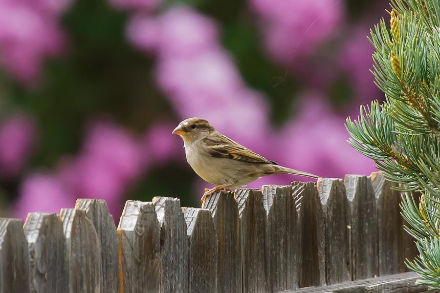 Sparrow Pink - 75 LumNR