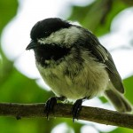 Curious Chickadee
