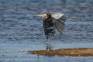 A Great Blue Heron bugging out after its bubble of comfort was breached by some rowdy fishermen.