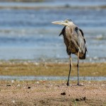 A Great Blue Heron, showing signs its been spooked...retracted head, arched back, ready to take flight.